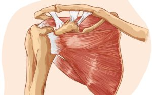 Shoulder Muscles Illustration