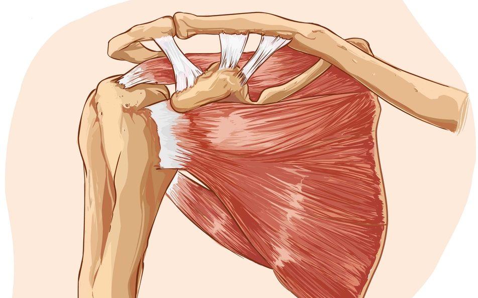 Shoulder Muscles Illustration